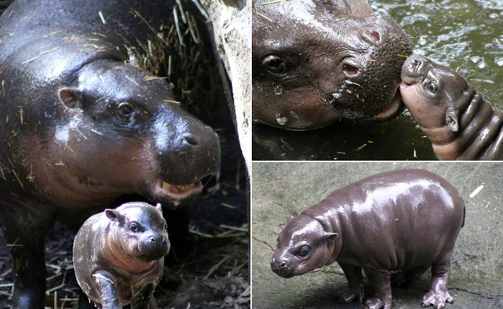 Australia's Taronga Zoo has a new pygmy hippopotamus on debut