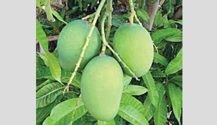 Farmers to grow pest-free mango thru contract farming