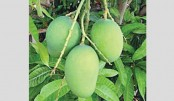 Farmers to grow pest-free mango thru contract farming