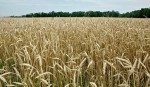 Wheat-maize cropping pattern can double yield: experts