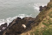 Pregnant cow falls 40 feet and then swims to safety