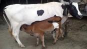 Dairy cow farming makes Sakhina, Amena economically self-reliant