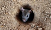 Indian cops blame rats for missing marijuana