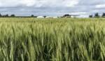 Wheat acreage drops for blast disease