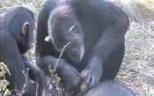 Chimp filmed cleaning dead son's teeth for first time (Video)