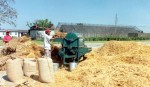 Wheat harvest on  in Gaibandha