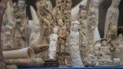 Can China's ivory trade ban save elephants?