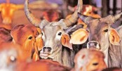 Gujarat approves life term for cow slaughter