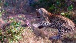 Gigantic python fights two deadly leopards in terrifying battle (Video)
