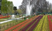 Srinagar's Siraj Bagh, Asia's largest tulip garden, opens for tourists