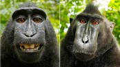 Indonesia's 'selfie monkey' threatened by hunger for its meat