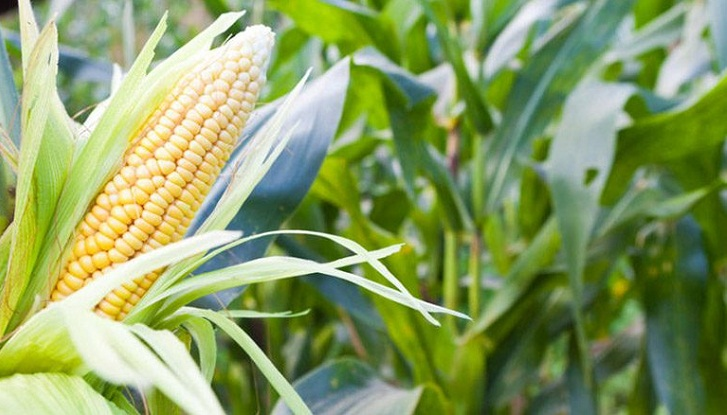 Maize cultivation exceeded target in Manikganj