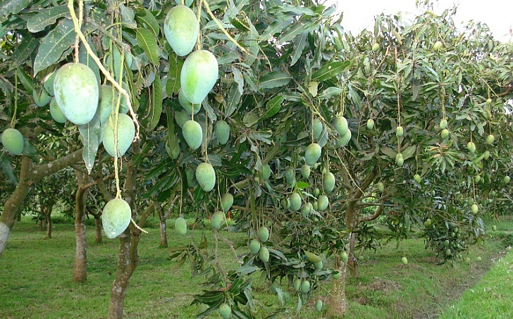 Farmers urged to grow export quality mango in Rajshahi