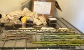 Shoe boxes filled with snakes, spiders and scorpions caught in Australia