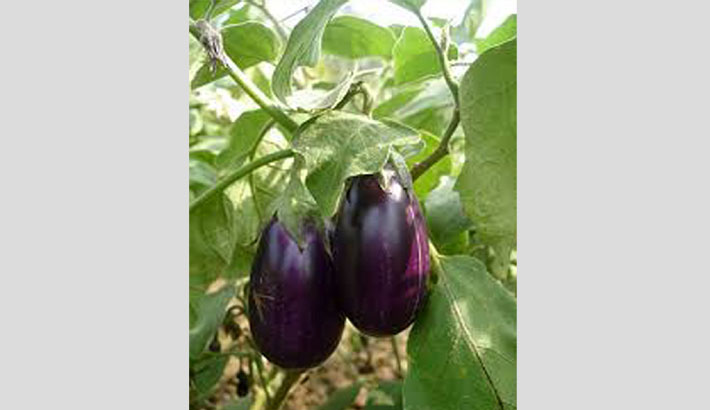 Chaugachha brinjal farmers making money as market grows