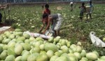 Bumper production of watermelon in Panchagarh