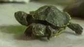 Bizarre turtle with two heads and six legs discovered in China (Video)