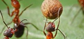 Ants mastered agriculture 30 mln yrs before we did