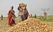 Bumper potato production in Rangpur