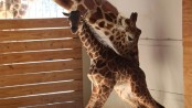 It's a boy! Zoo confirms April the giraffe's calf is a male