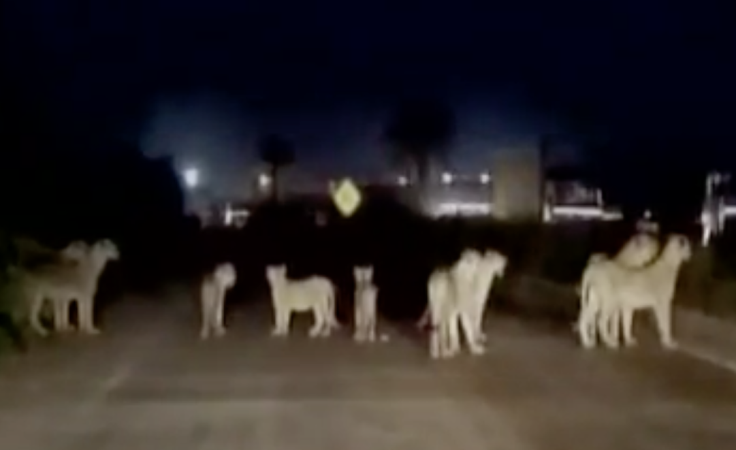 A dozen lions stop traffic on busy highway in India (Video)