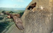 Surprise! Small eagle fly 3,000 km from habitat
