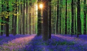 Belgium's 'fairytale' bluebell forest victim of own beauty
