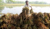 Boro production in peril, farmers in trouble