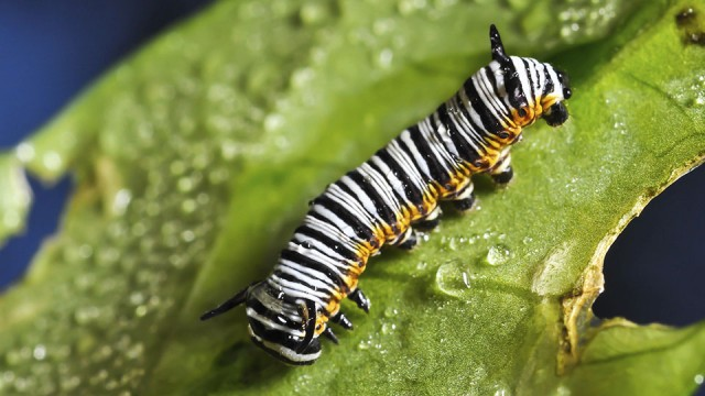 Polythene-eating caterpillars may help fight plastic pollution