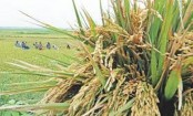 Boro paddy on 50 hectares croplands damaged
