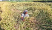 Heavy rainfall damaged standing paddy crops