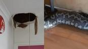 Huge snake falls through Australian gym's ceiling