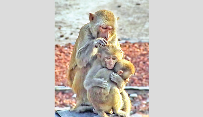 Extinction of monkeys may cause ecological backlash