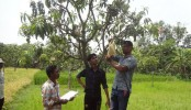 Mango growers promote fruit bagging tech in Rajshahi