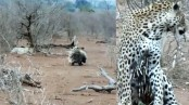 Leopard tries to eat two giant porcupines, regrets its instantly! (Video)