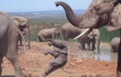 Chilling video shows baby elephant tossed aside by bull elephant (Video)