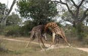 Two adult giraffes fight ferociously for female attention (Video)