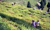 Darjeeling's most charming tea estates