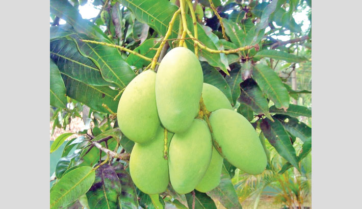 Fixed harvest time hits mango growers