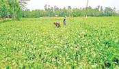 Planting Jutes