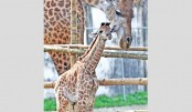 Giraffe caresses