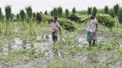 11,630 hectares of land brought under jute cultivation