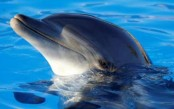 France bans captive breeding of dolphins, killer whales