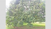 Adverse weather affects mango, other summer fruit production