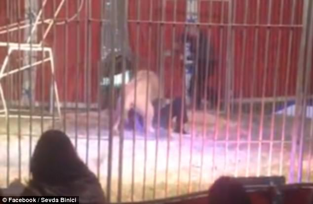 Circus lion catches keeper by the throat, drags him around ring (Video)