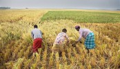 Boro harvest begins in Panchagarh