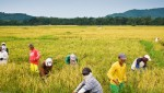 IRRI forecasts stable market for rice