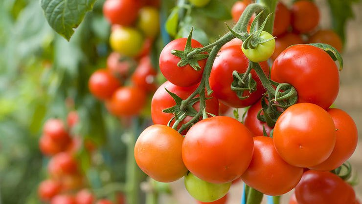 Stomach cancer can be treated using tomato extracts: study