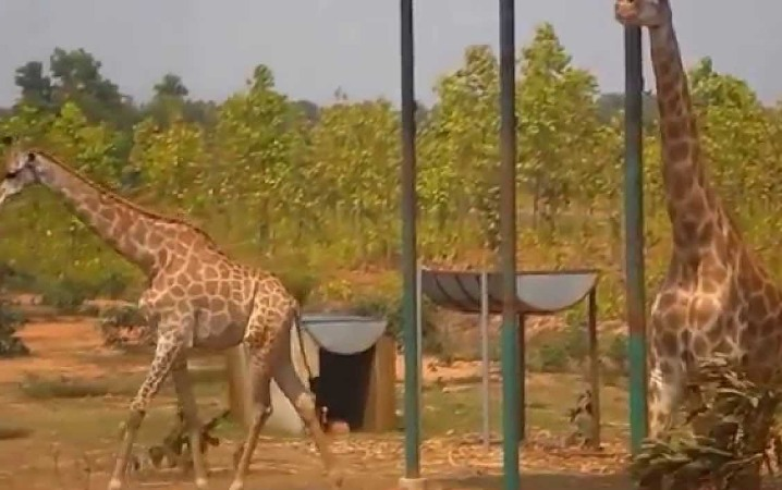 2 giraffes die at Gazipur Safari Park