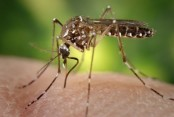 No reason to be worried about chikungunya disease: Experts